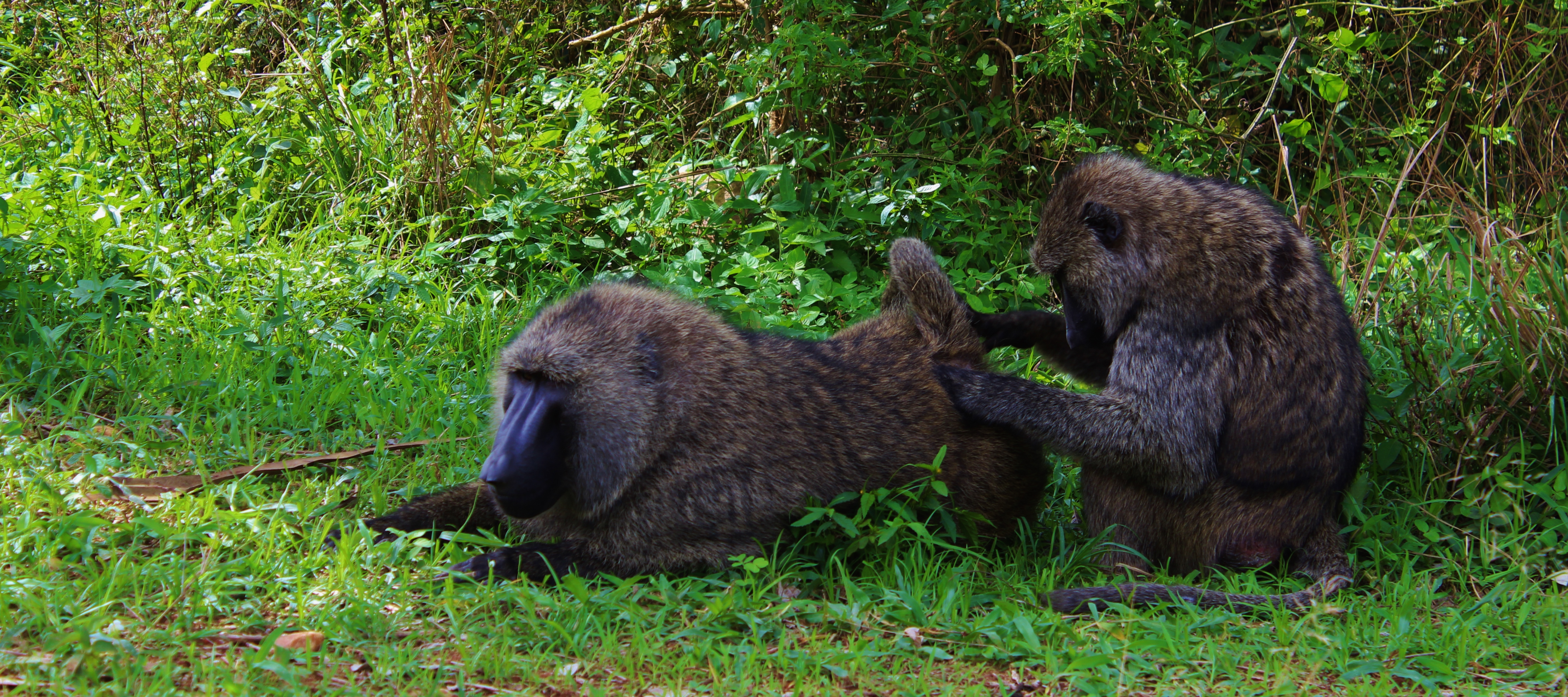 Baboons being baboons