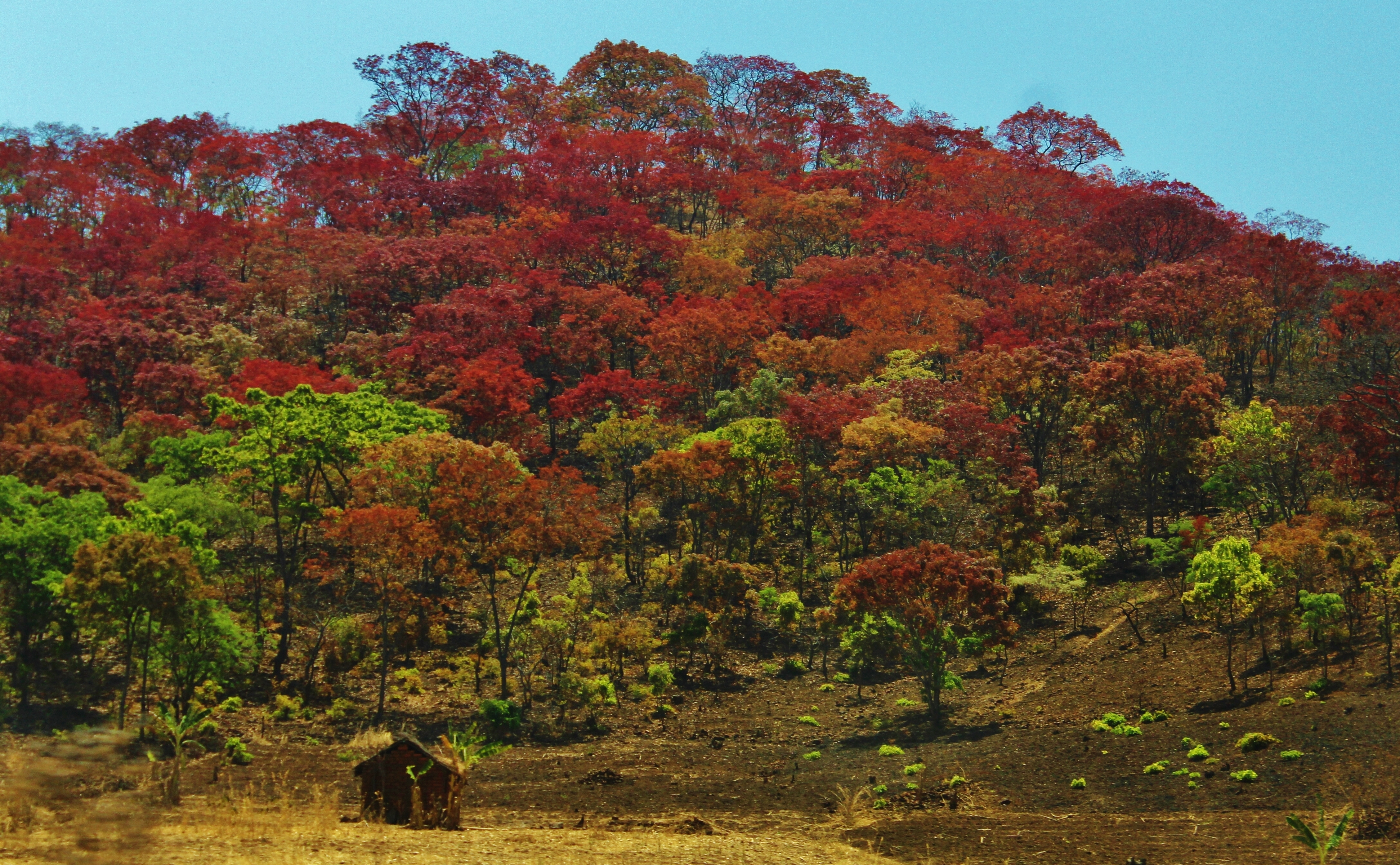 Fall in southern Tanzania: the leaves turn red at the end of rainy season, according to my driver