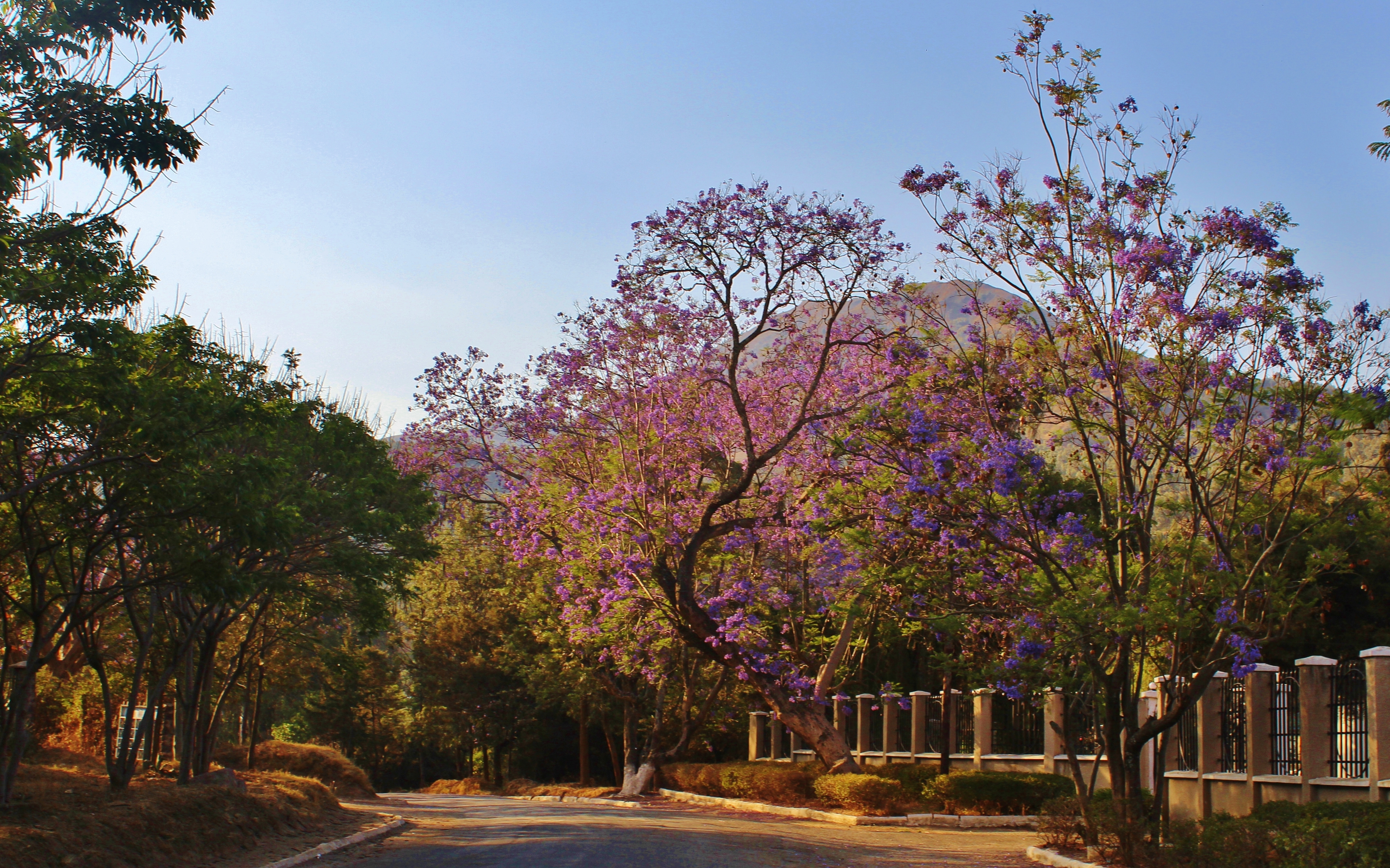Mbeya's trees blooming bright purple