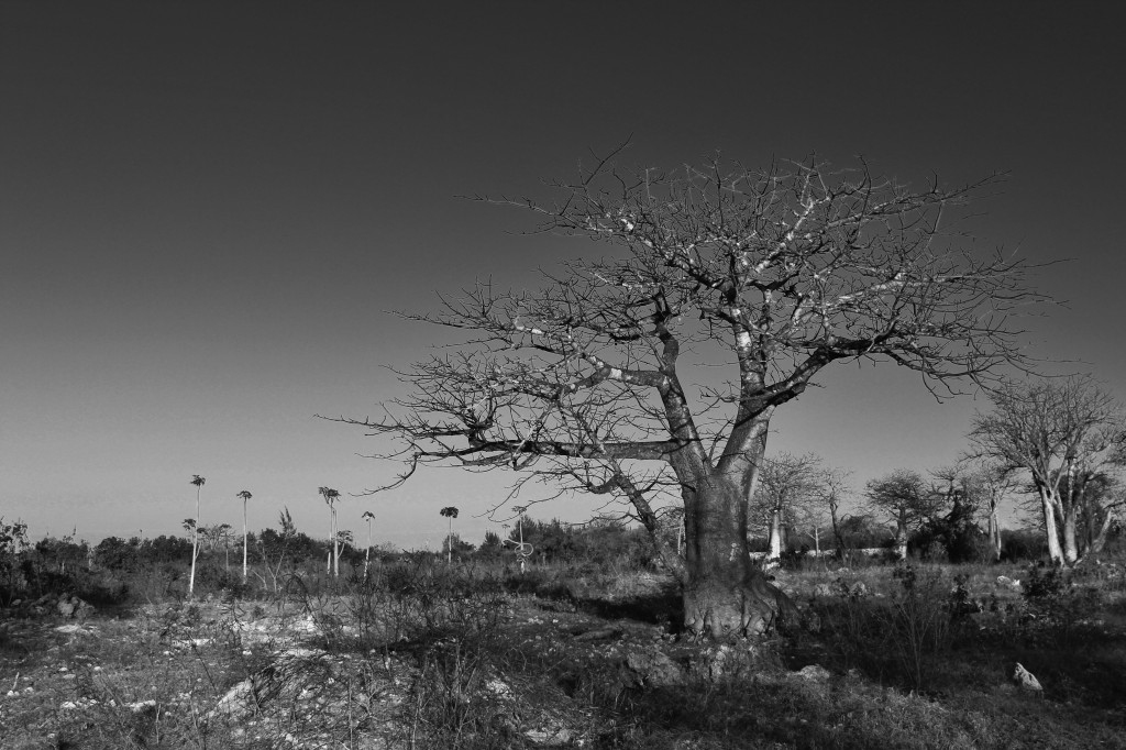 Baobabs near the Indian Ocean