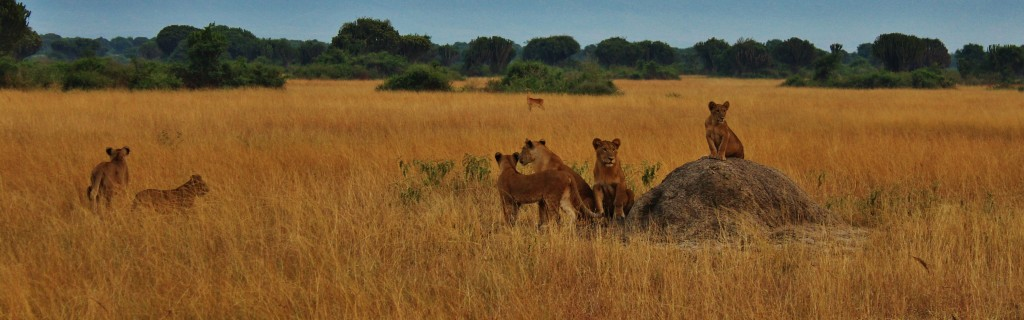 July: Lions in Queen Elizabeth National Park, near Kasese, Uganda (more here)